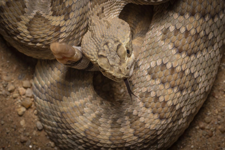 Mohave Rattlesnake by Dave Zeldin