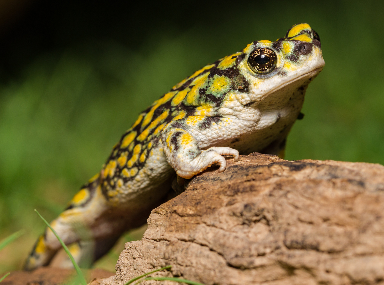 Arizona Green Toad by Dave Zeldin