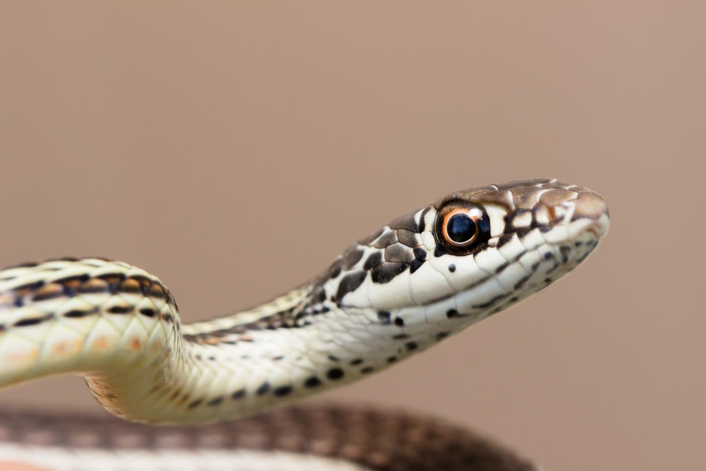 Striped Whipsnake (Coluber taeniatus) by Dave Zeldin