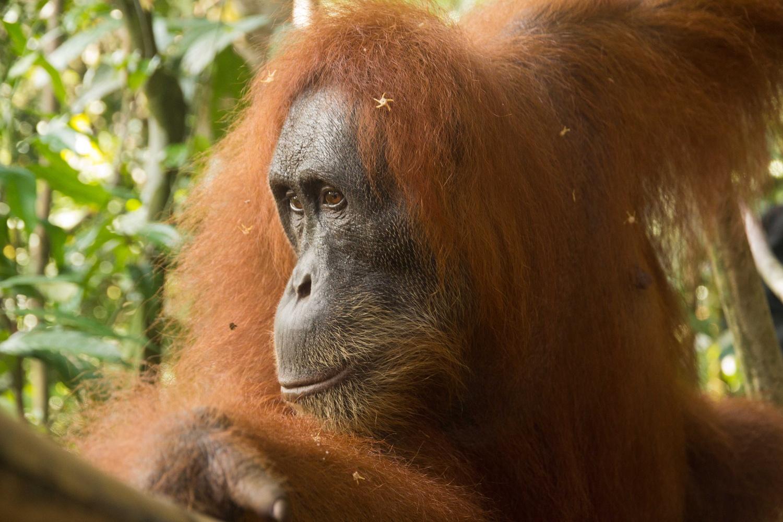 Orang hutan, sumatra by Rebecca Francis