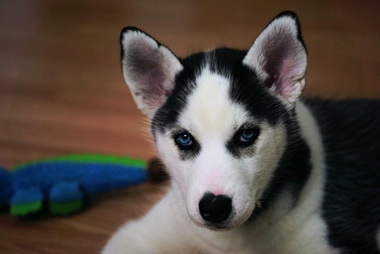 Husky pup 8 weeks old by Diane Marie