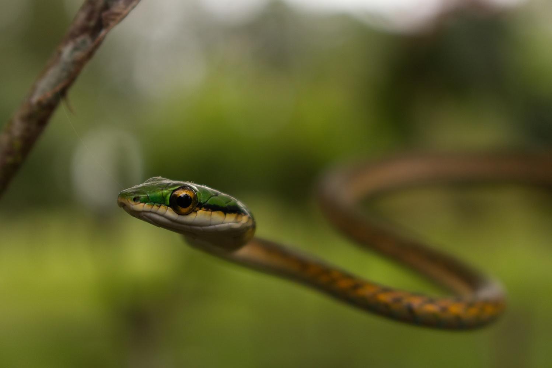 Parrot Snake by Alejandro Grau