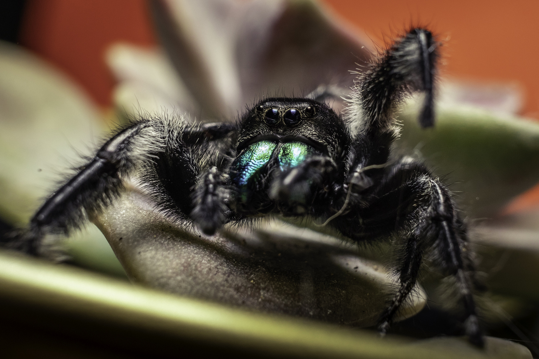 Jumping Spider by Alejandro Grau