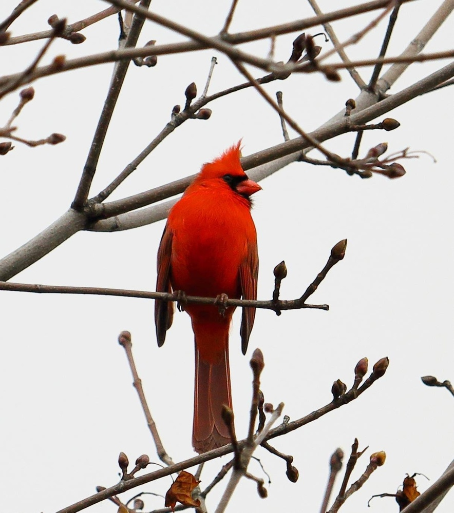 Cardinal in February by Justin Powers