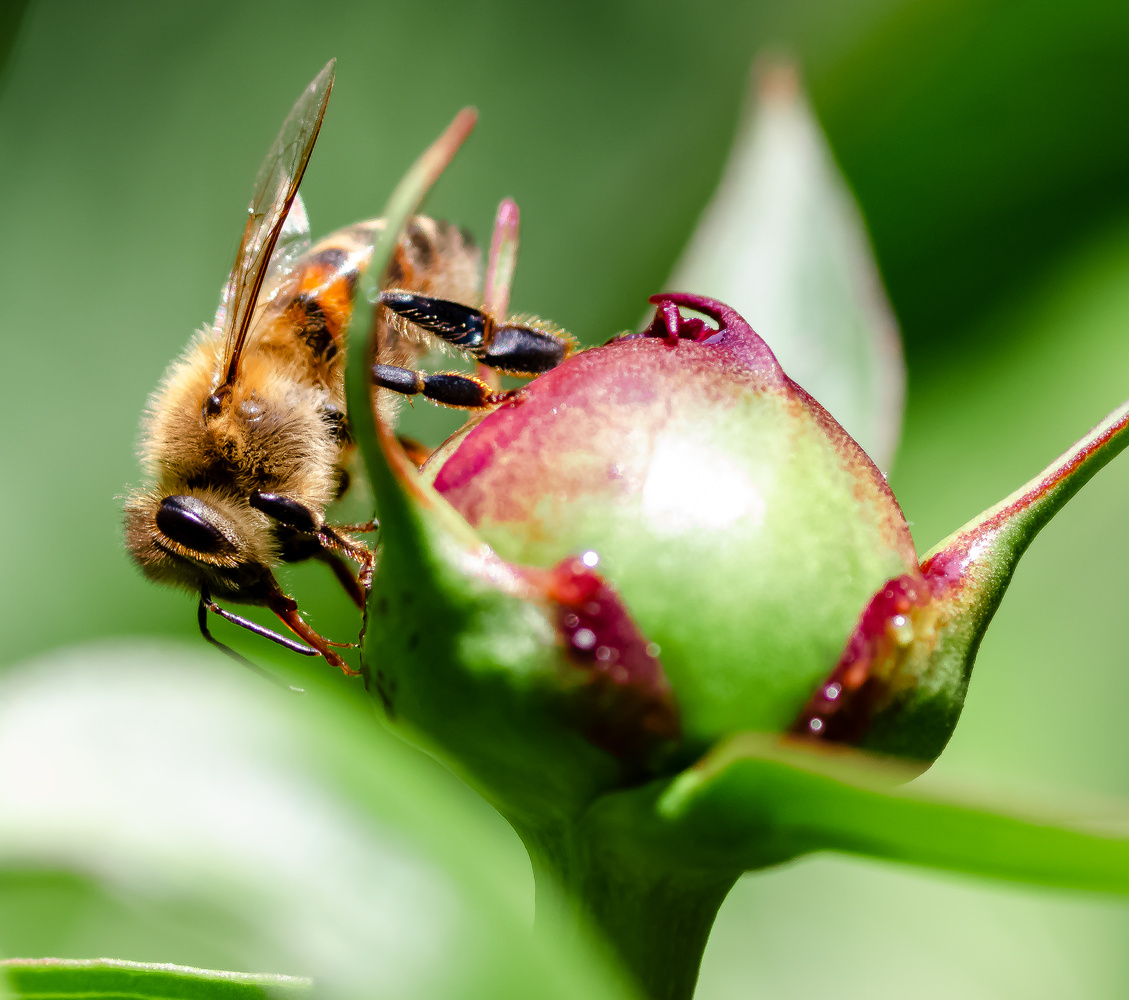 Honeybee on Peony Bud by Justin Powers