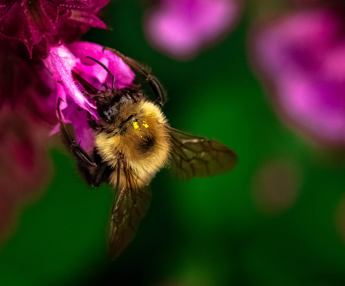 Pollen-dusted bumblebee by Justin Powers