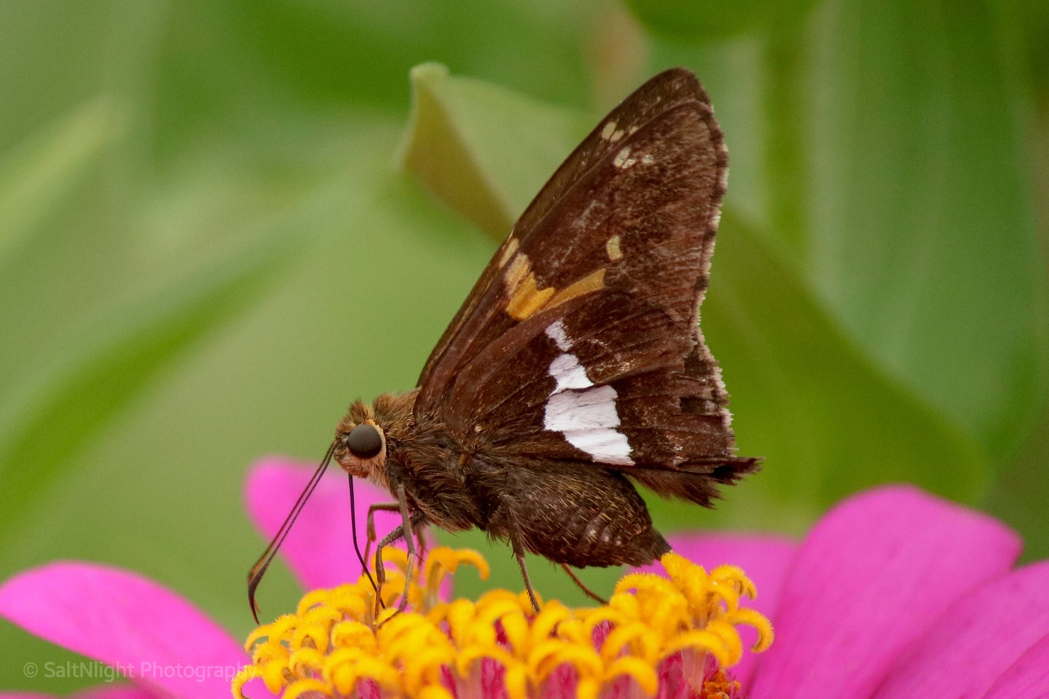 Silver spotted skipper by Melvin Morgan