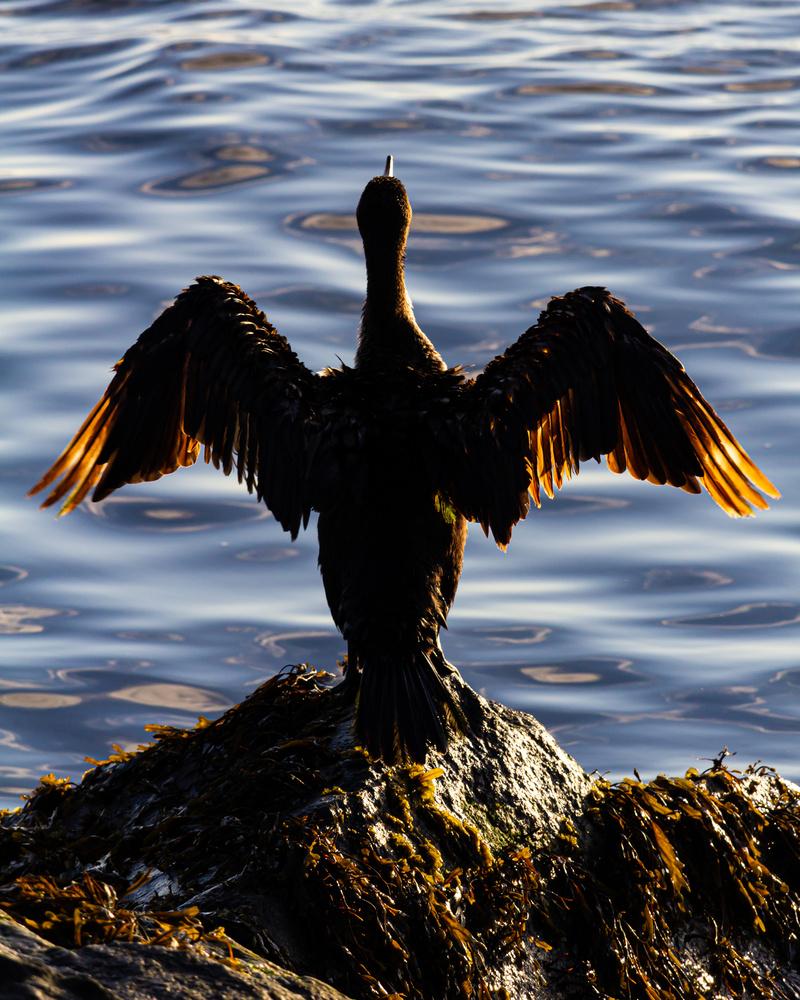 Sunning Cormorant by Matthew Smith
