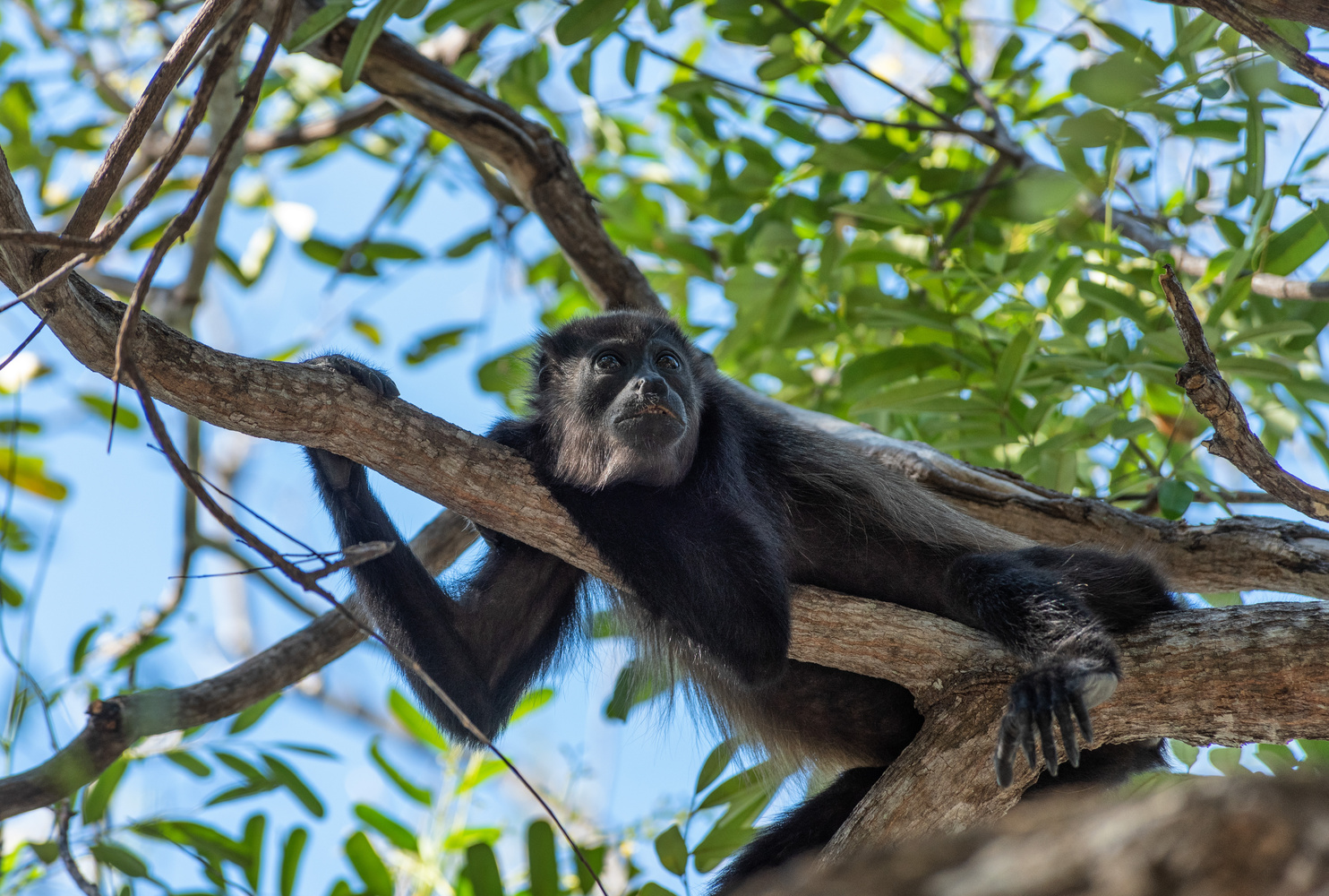 Howler Monkey in tree by John Nicholson
