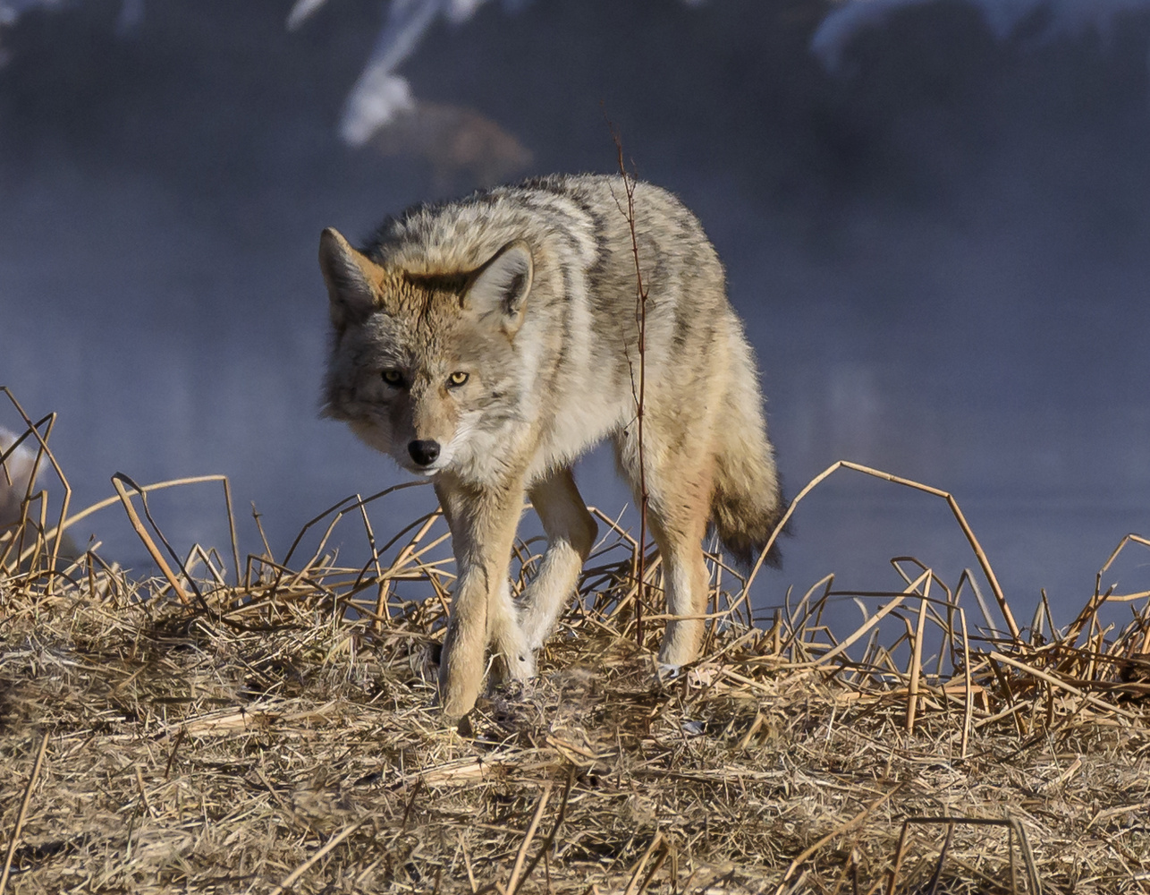 Coyote in Yellowstone by John Nicholson