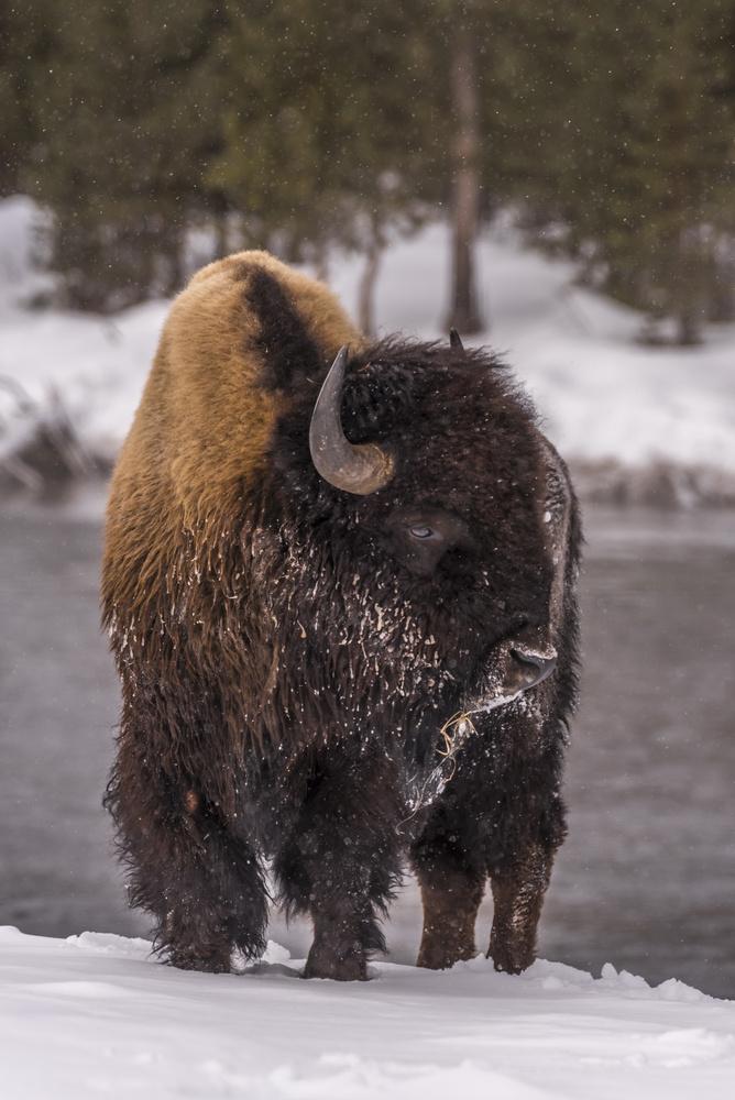 Bison In Yellowstone by John Nicholson