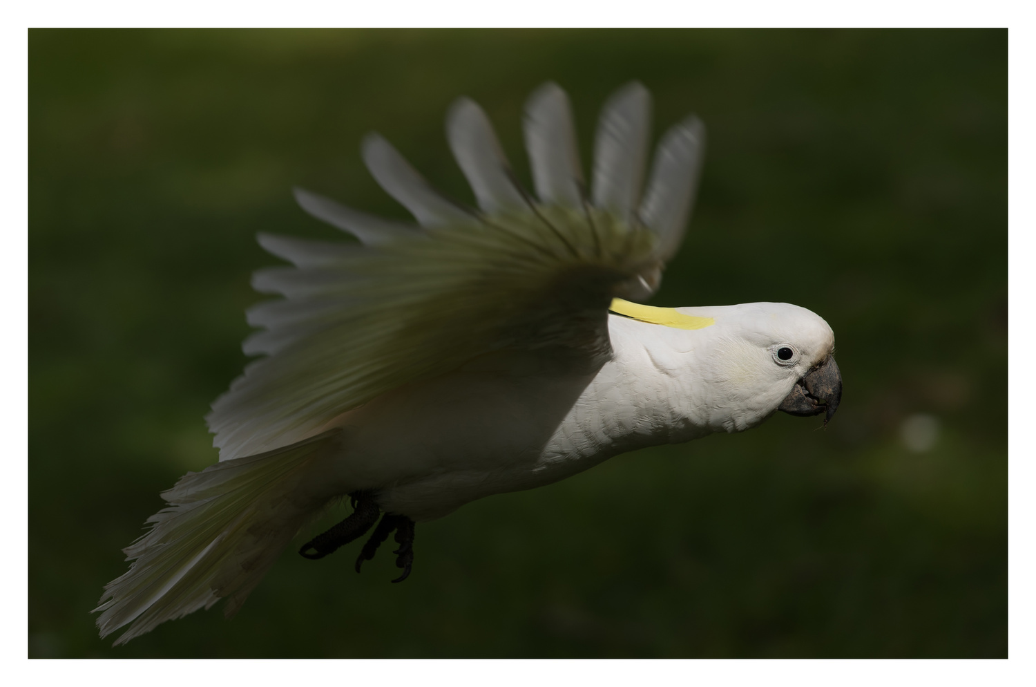 Sulphur crested cockatoo by Peter Virag