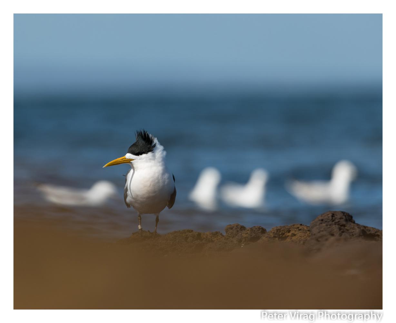 Little tern by Peter Virag