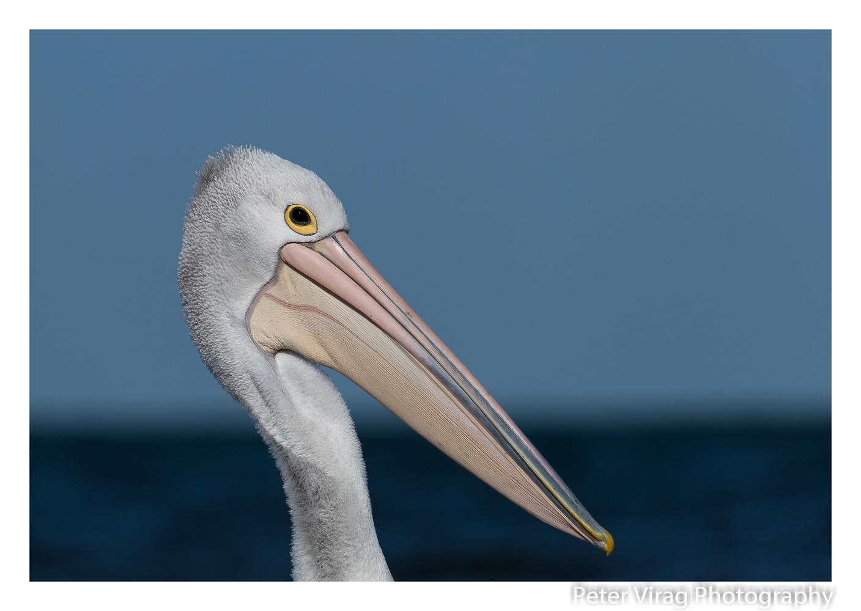 Australian Pelican by Peter Virag