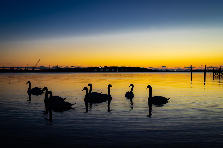 Shadow Swans by Alexander Lobozzo