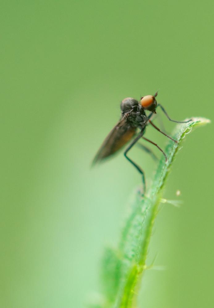 mosquito by Alexandru Murar