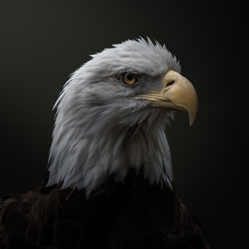 Eagle portrait by joseph cole