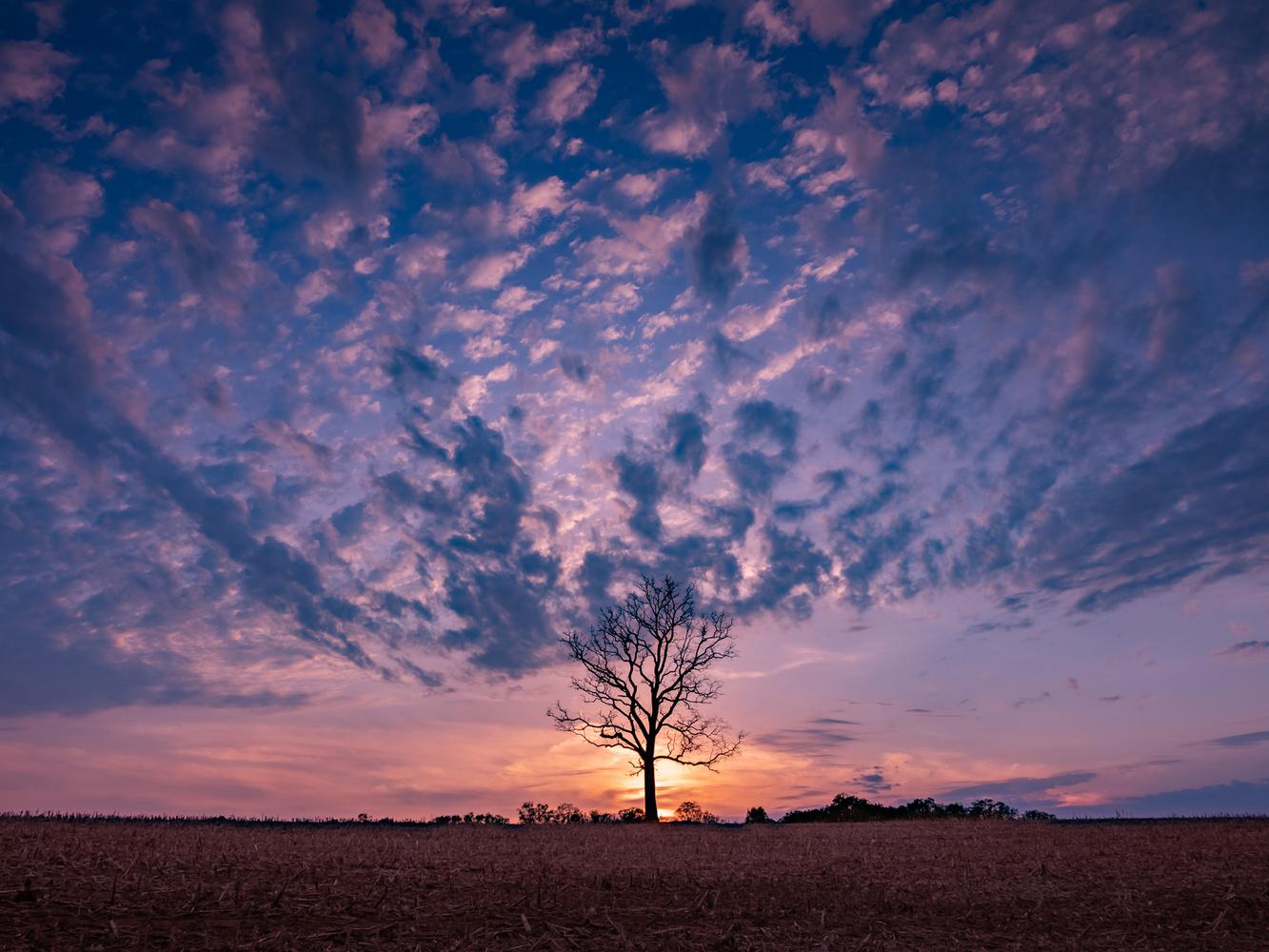 Tree in the Cornfield at Sunset by John Pszeniczny