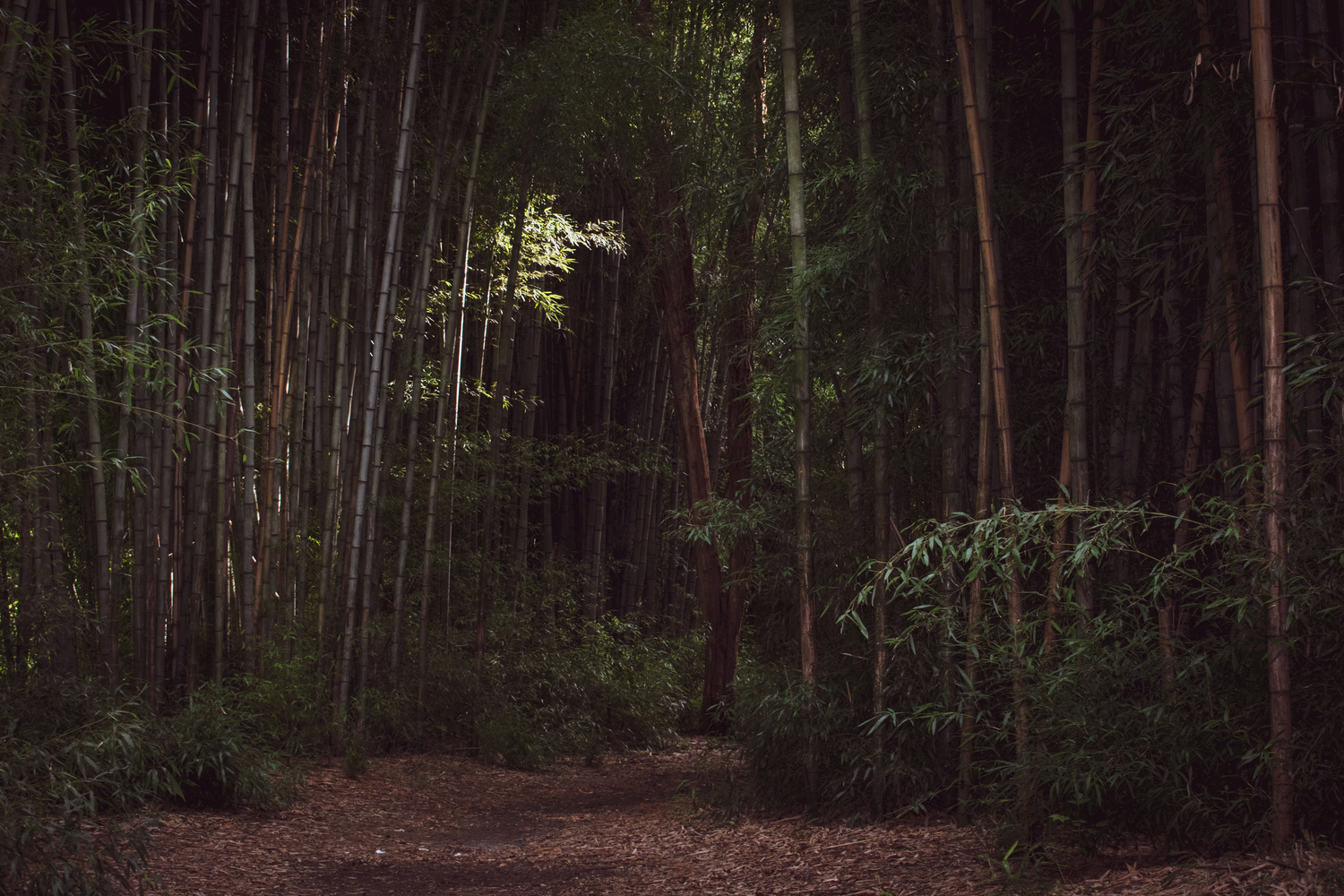 Bamboo Forest at Oconaluftee by Mark Guinn