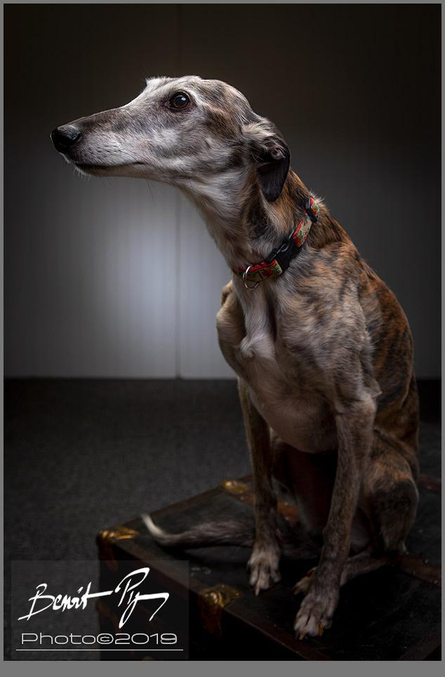 Silken Windhound sitting by Benoit Pigeon