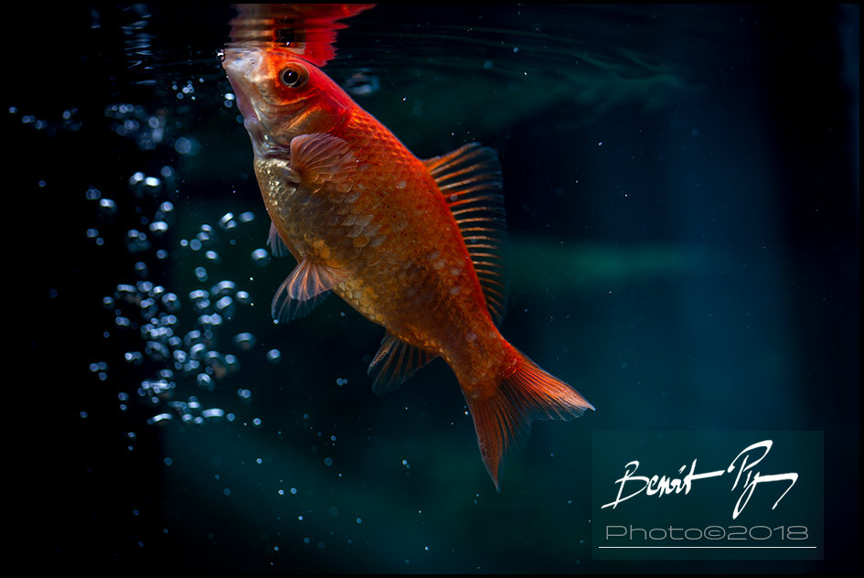Gold fish one by Benoit Pigeon
