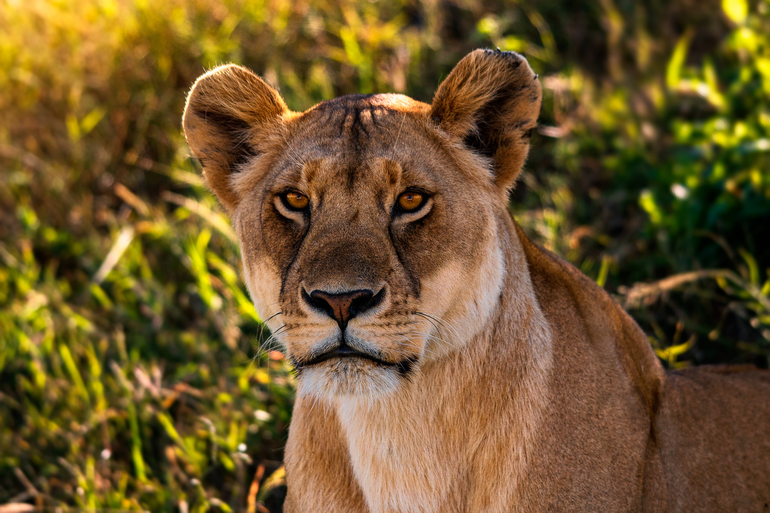 lioness looking in the camera by nicky fredriksson