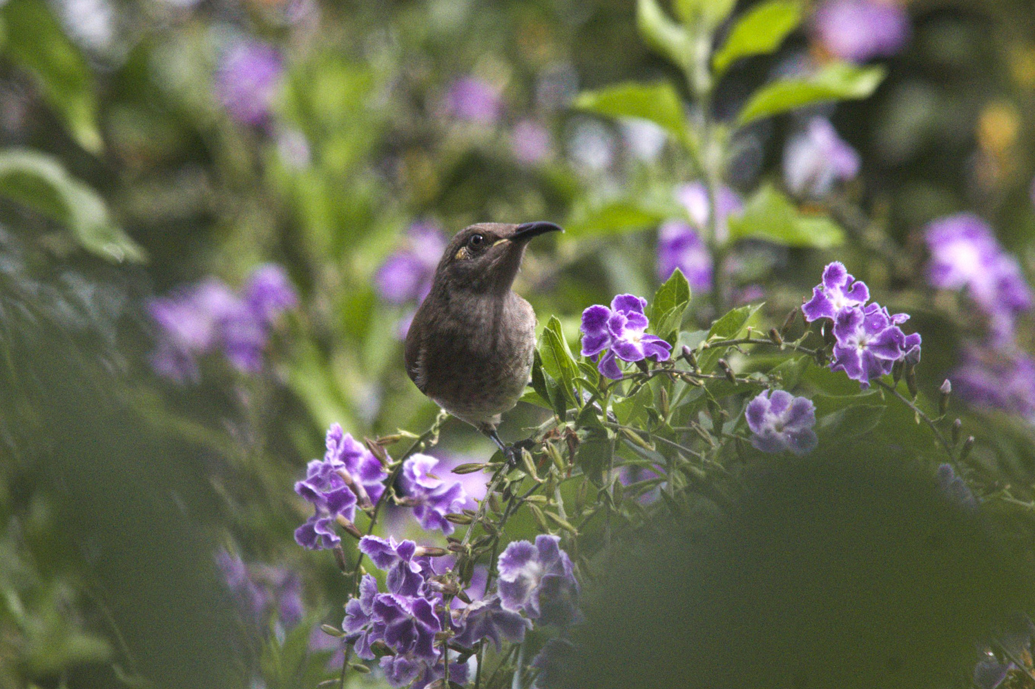 Honey eater in the flowers by Jeremy Martignago