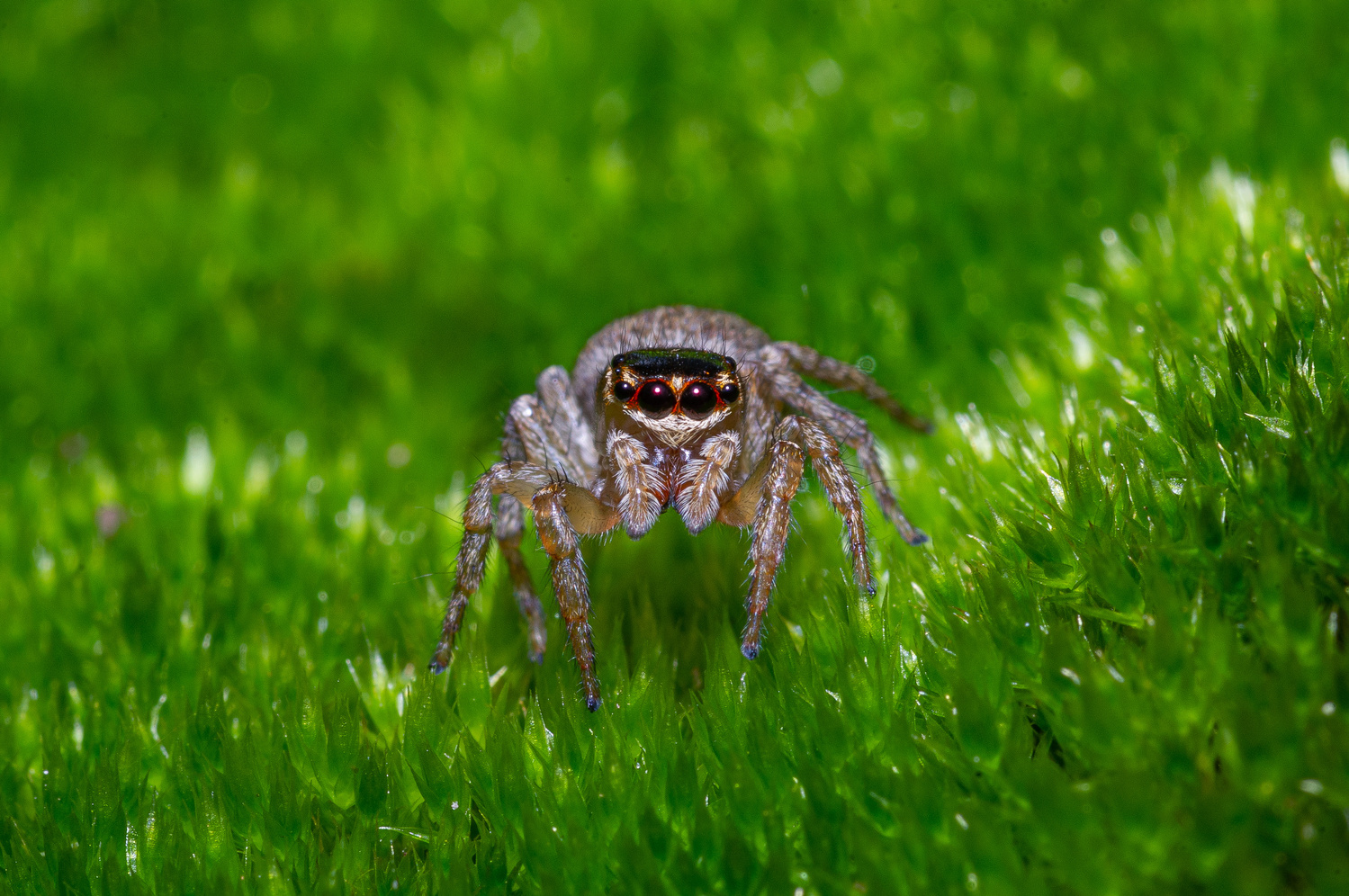 Jumping spider on moss by Jeremy Martignago