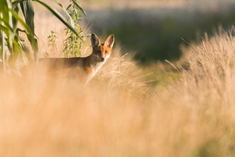Red Fox by Sebastian Ulici