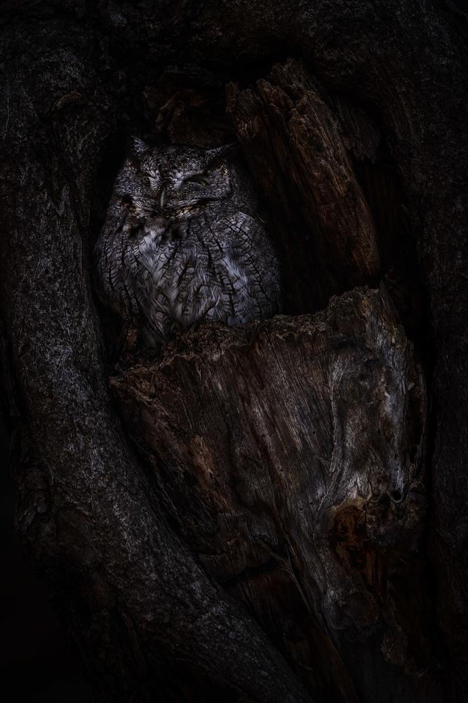 Screech Owl by Dave Vichich