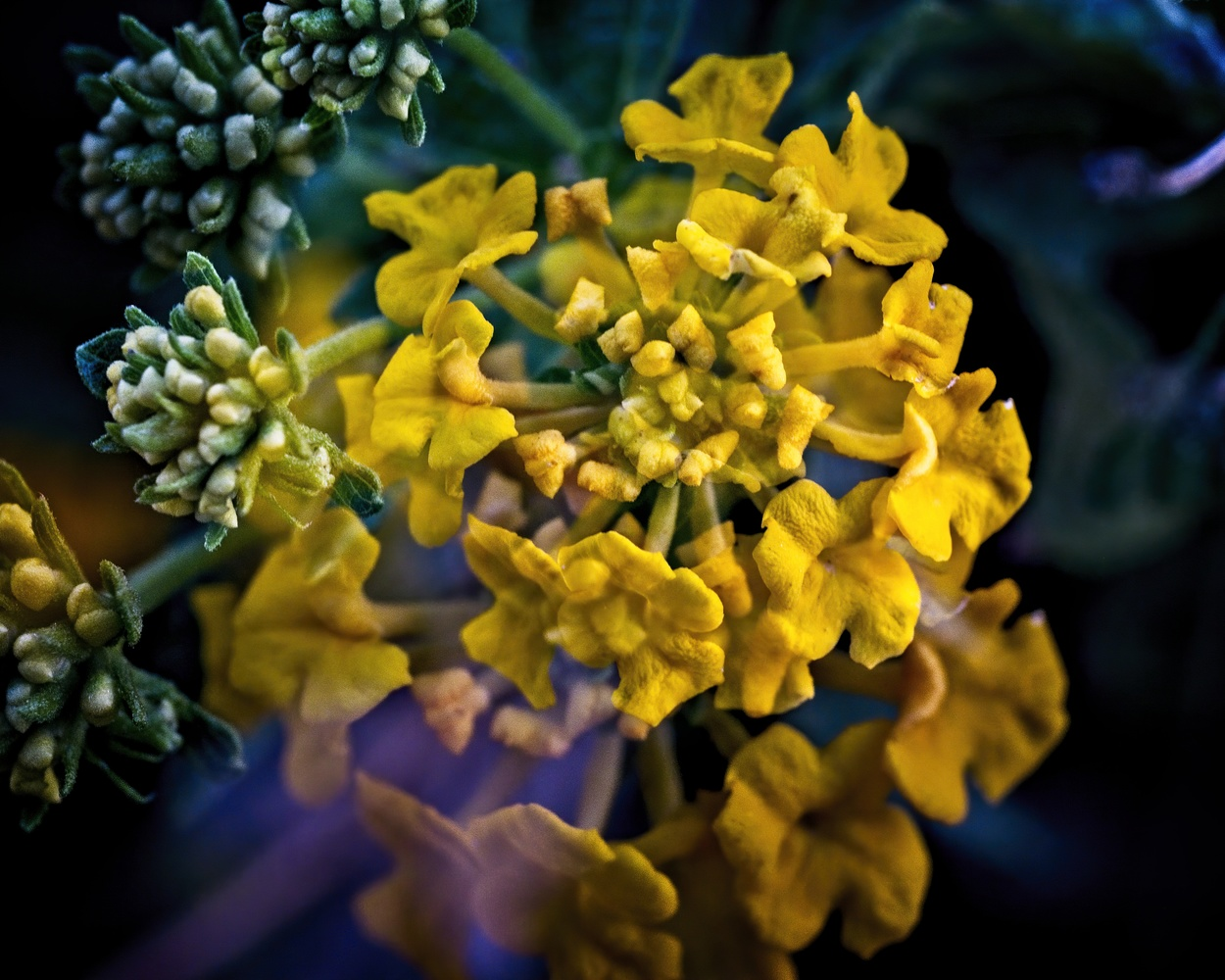 Yellow buds by James Zuffoletto