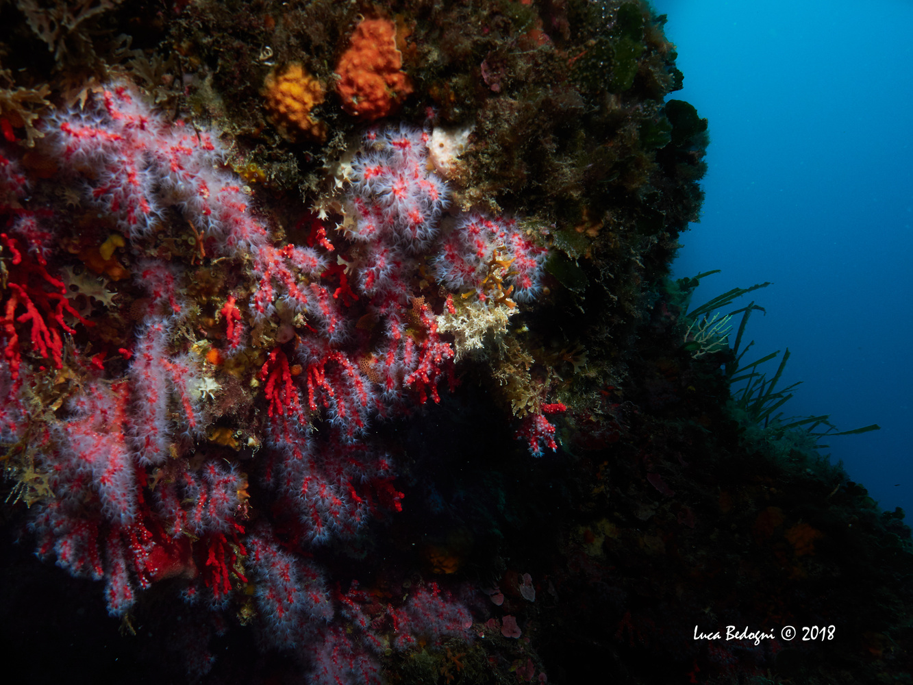Red Coral by Luca Bedogni