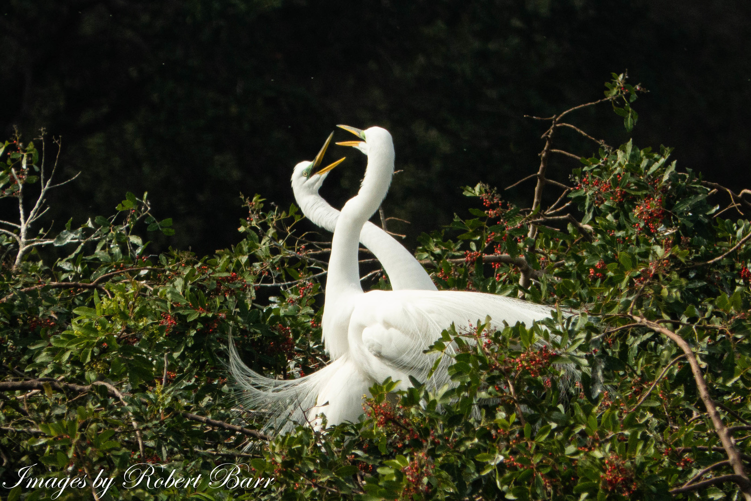 Honey I'm Home - 2 Great Egrets celebrating the return of a mate by Robert Barr