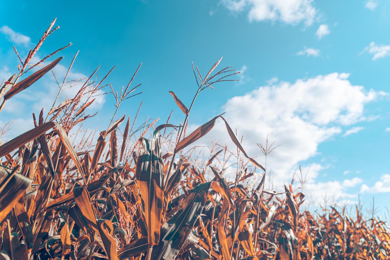 Fall Corn Maze by Jarrett Caldwell
