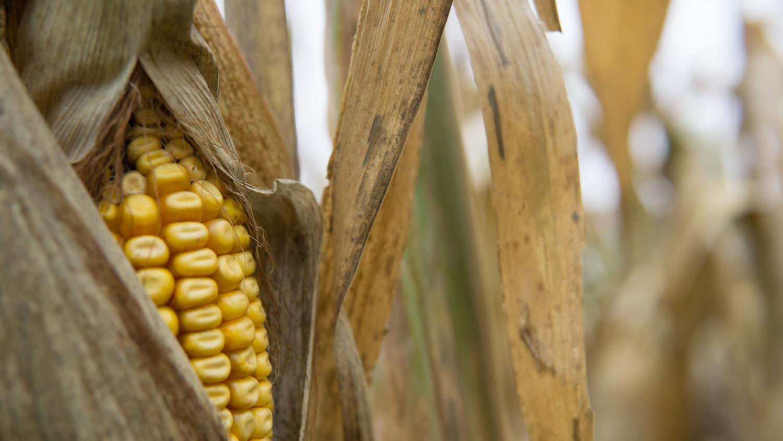 Fall Corn Stalk by Mark Davenport