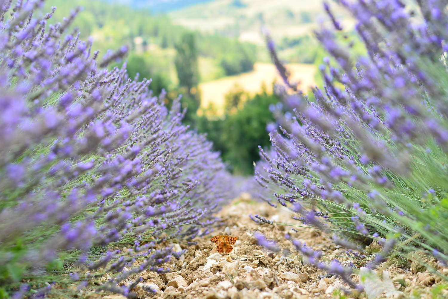 Butterflies and lavender by Ties Firet