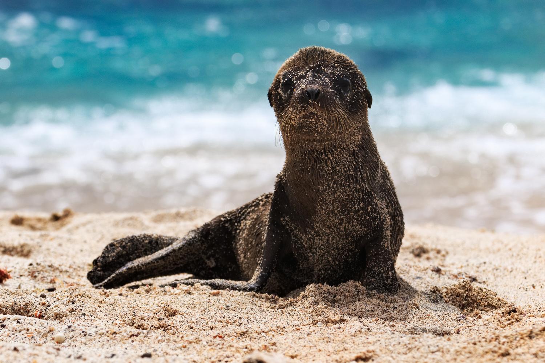 Galápagos Sea Lion puppy. by Rémi Carbonaro