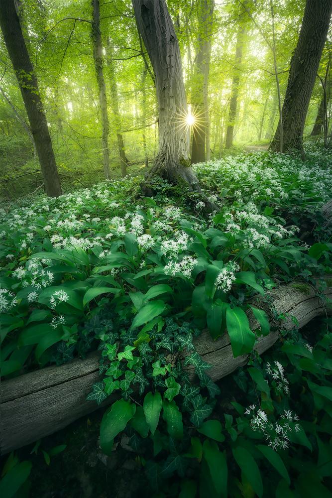 Wild garlic everywhere by Kevin Teerlynck
