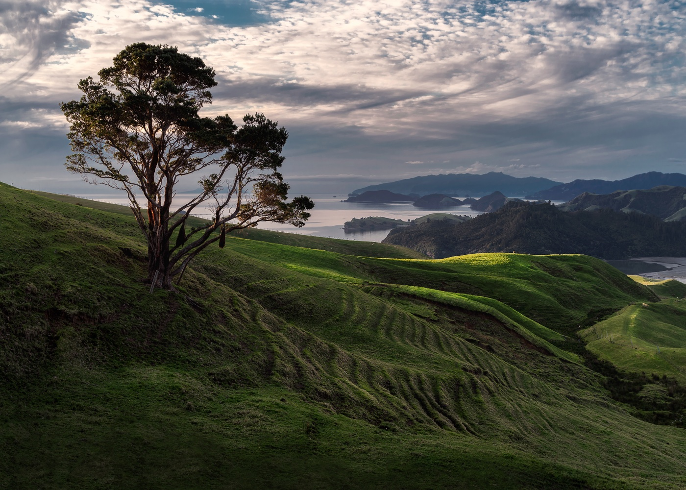 The Coromandel's Lone Tree by Ryan Hill