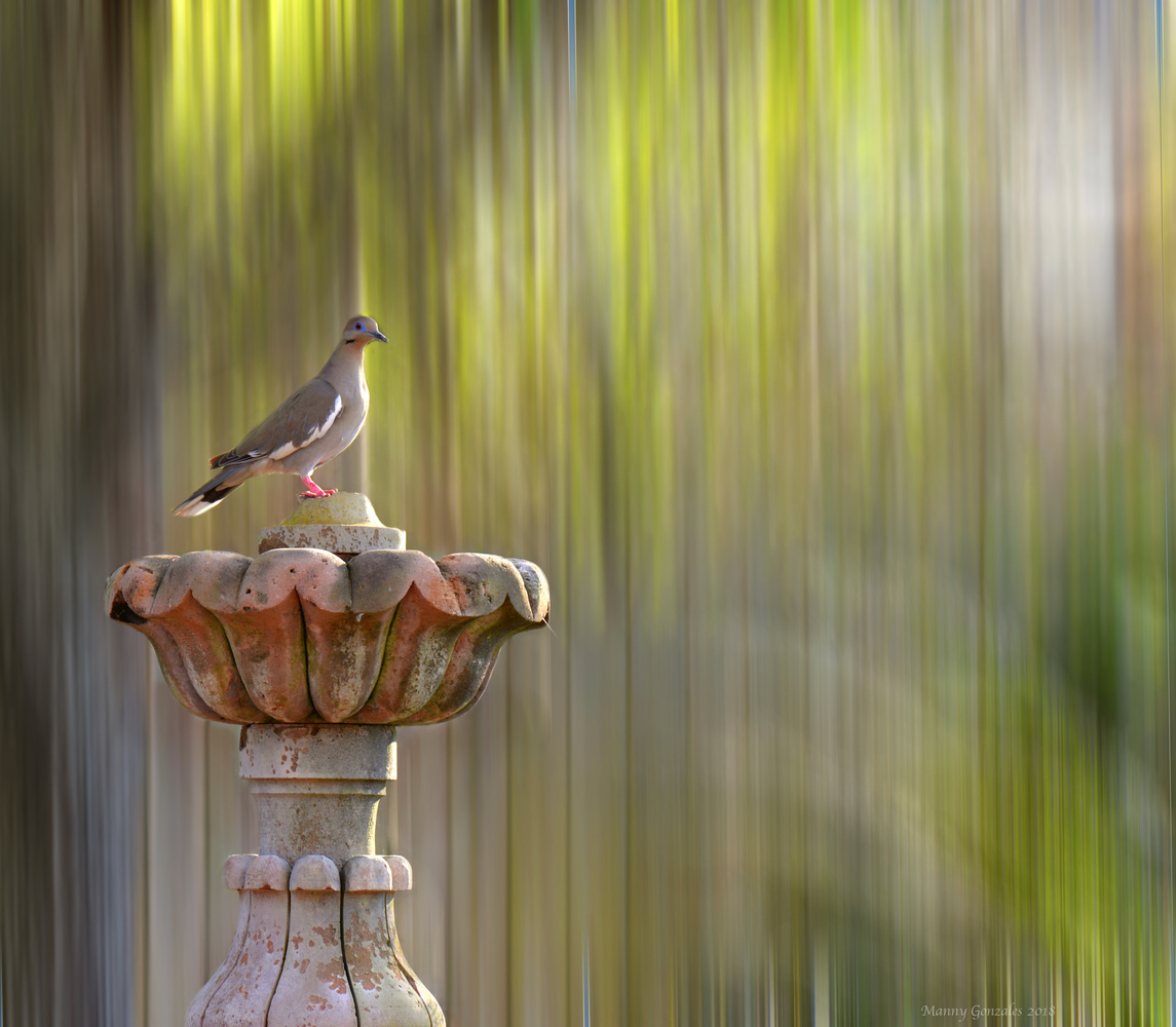 Lonesome Dove by Manny Gonzales