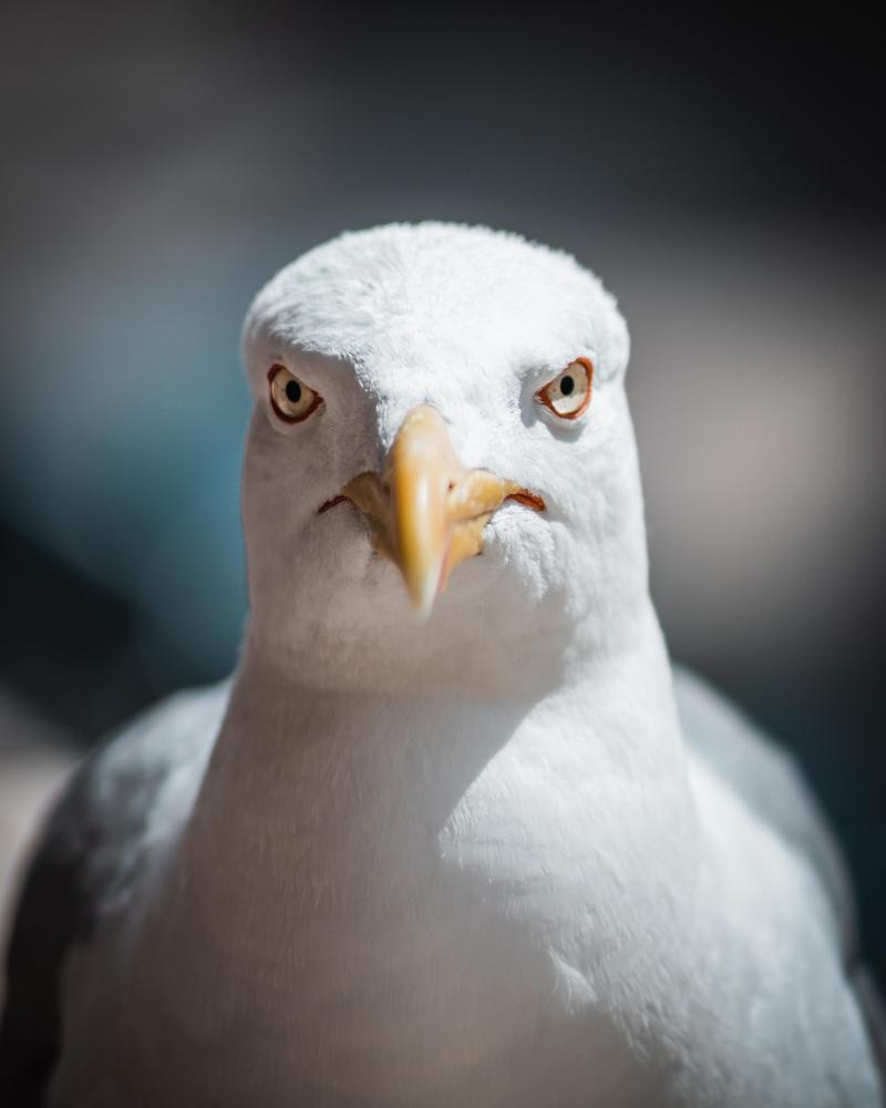 Seagull by Petter H Johnsen