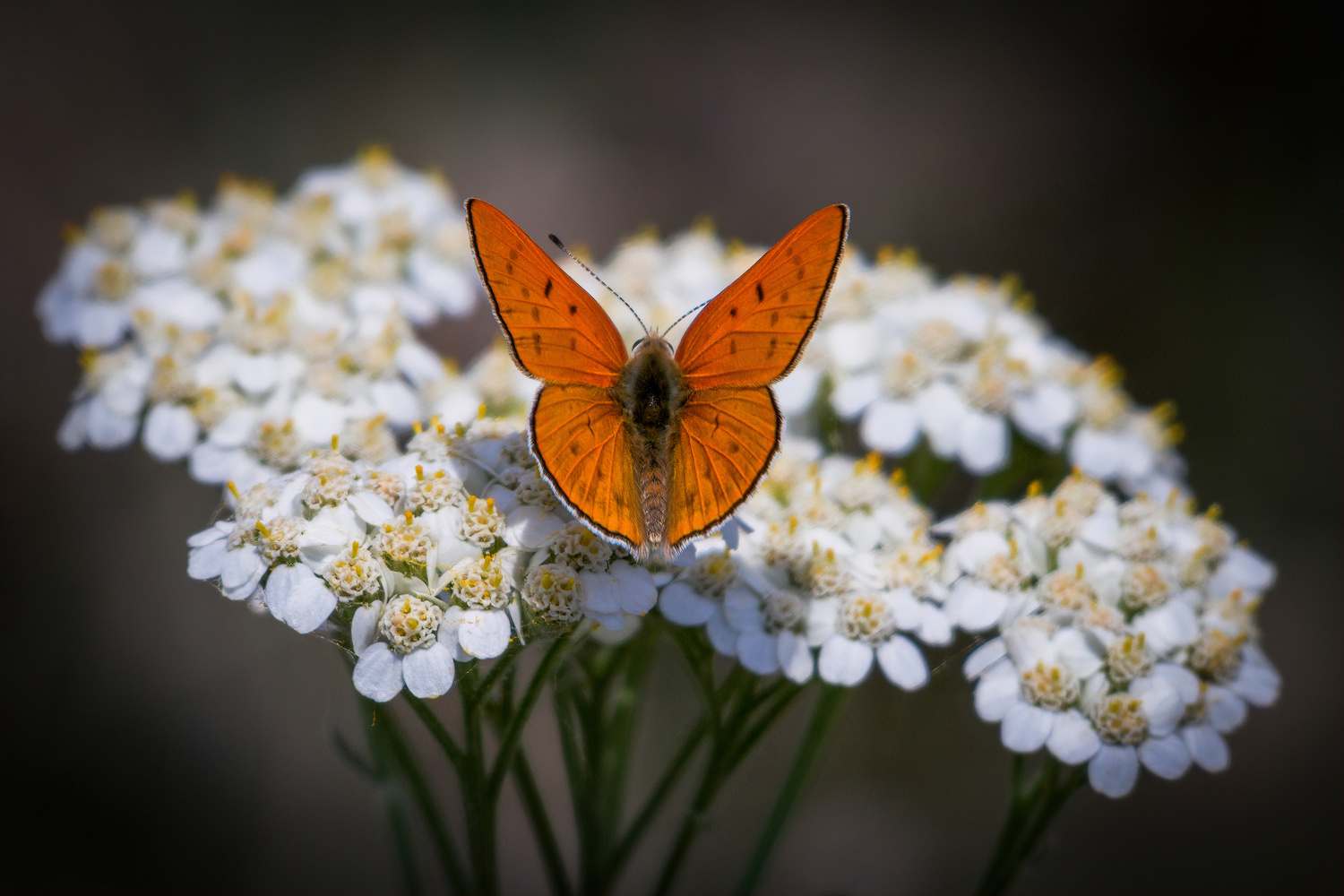 Ruddy Copper Butterfly by David Hutson