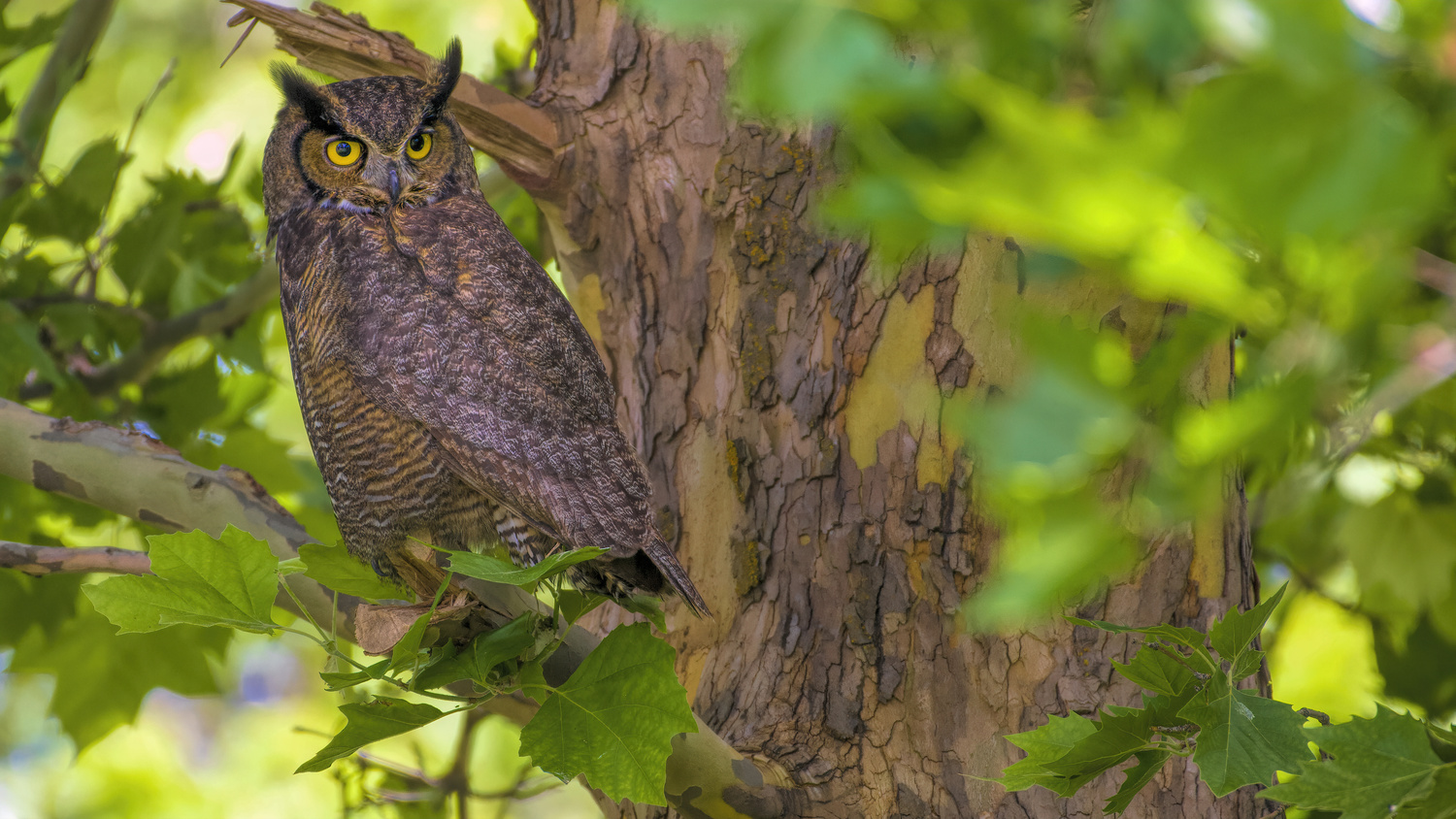 Great Horned Owl by David Hutson