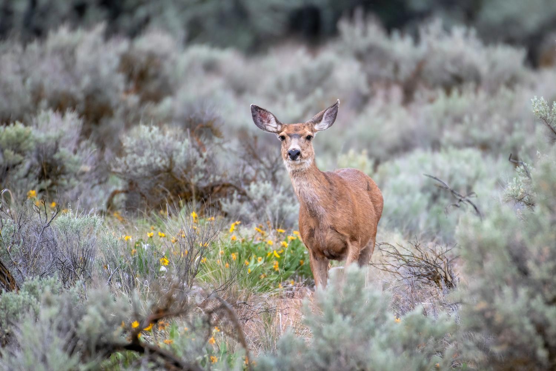 Mule Deer and Balsamroot in bloom by David Hutson