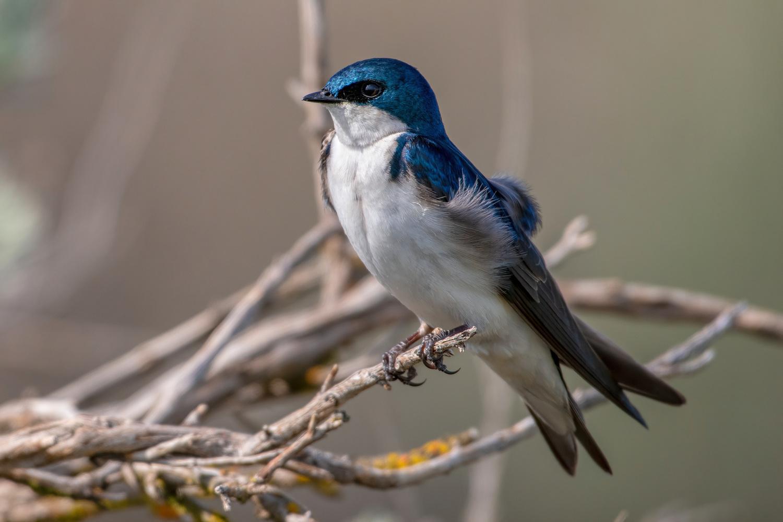 Tree Swallow by David Hutson