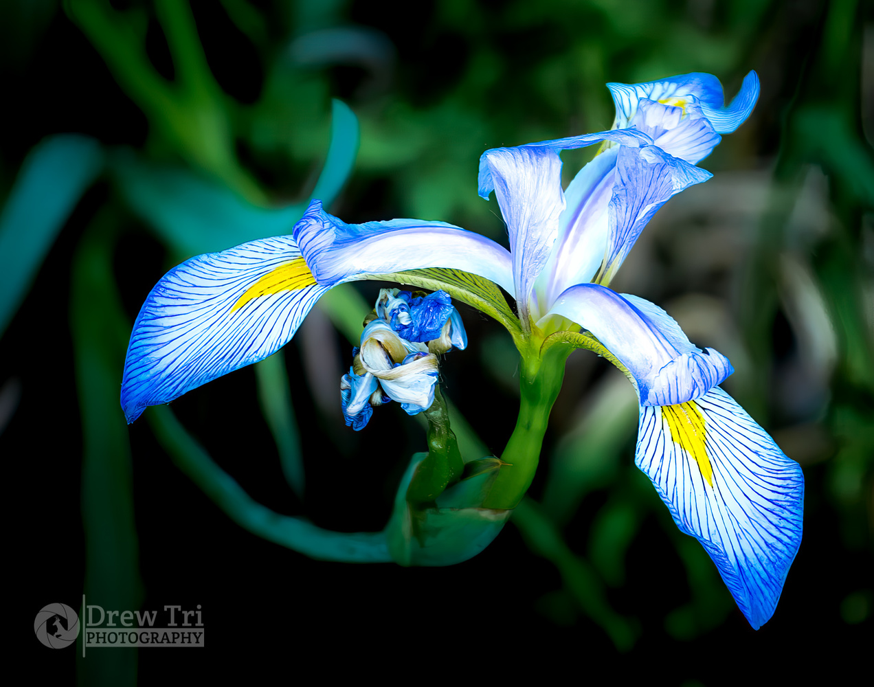 Water Iris by Andrew Tri