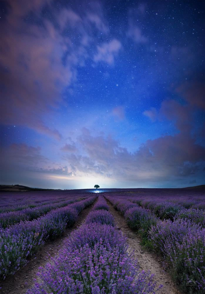 Star lavender in Bulgarian fields by DANIEL BALAKOV