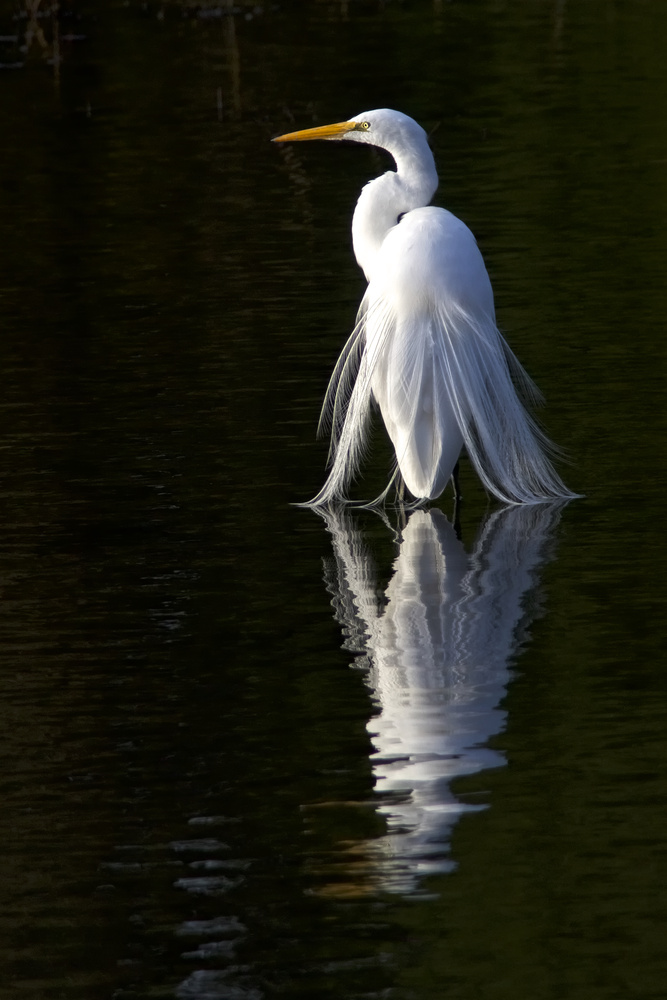 Egret Reflection by Bruce Lee
