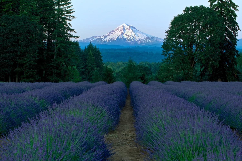Lavender Dreams by Bruce Lee