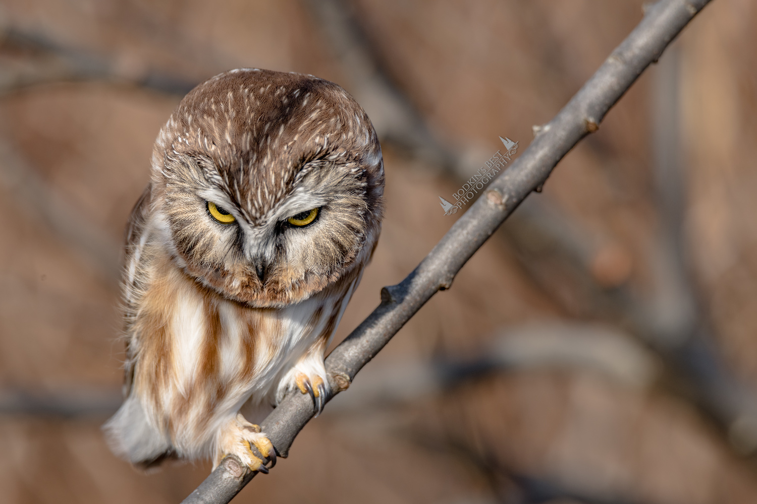 Northern Saw-Whet Owl by Bodkin's Best Photography